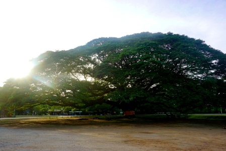 The Giant Rain Tree at sunset